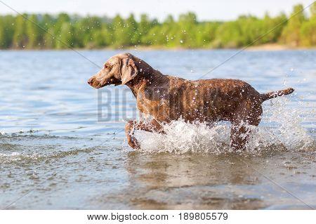 Weimaraner Dog Running In A Lake