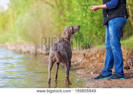 Person Plays With A Weimaraner Dog At A Lake