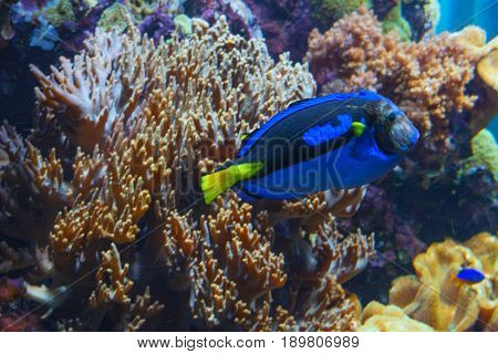 Underwater shot fish in an aquarium with coral and sea anemone.