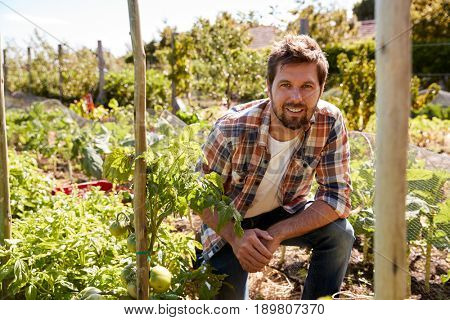 Portrait Of Man Checking Tomato Plants Growing On Allotment