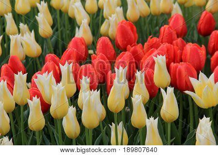 Horizontal image of beautiful tulips set in landscaped garden