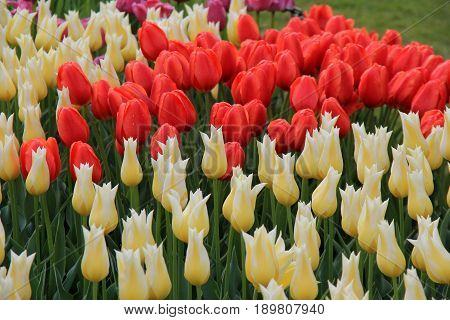 Horizontal image of bright and colorful tulips in the cheerful colors of peach, white and purple.