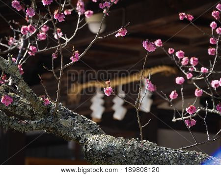 Japanese plum blossoms blooming before a Buddhist temple