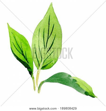 Wildflower Malus flower leaf in a watercolor style isolated. Full name of the plant: Malus leaf. Aquarelle wild flower for background, texture, wrapper pattern, frame or border.