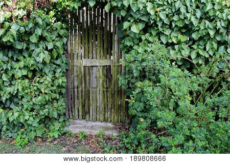 Horizontal image of old,weathered door to garden, with lush green ivy covering  front of entrance.