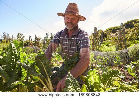 Mature Man Working On Community Allotment