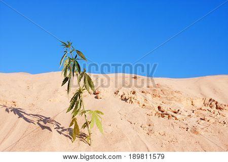 Bush Cannabis Against The Blue Sky In The Sunlight Grows With A Sandy Desert On The Sand. Hemp Again