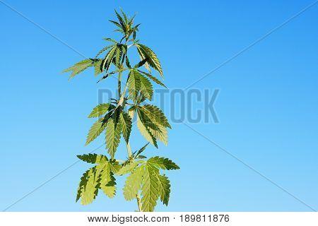 Bush Cannabis Against The Blue Sky In The Sunlight. Cannabis On Blue Sky Background. Green Cannabis