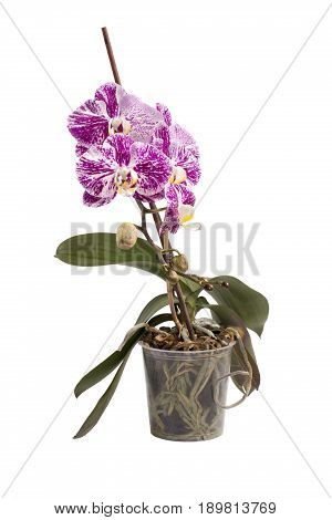 Phalaenopsis orchid bush in a pot on a white background