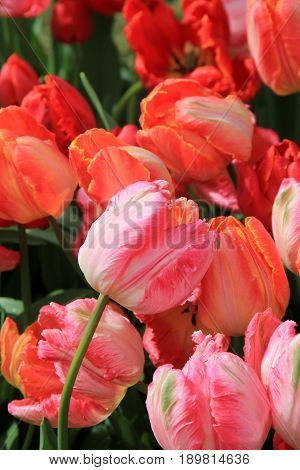 Vertical image of pink and peach color tulips in pretty Springtime garden.