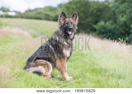 Big Dog Sat Outside On Grass Meadow Looking At The Camera