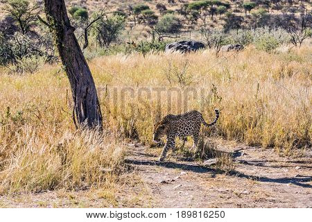 African leopard. A magnificent spotted leopard in the natural conditions of the African savannah in Namibia. The concept of exotic and extreme tourism