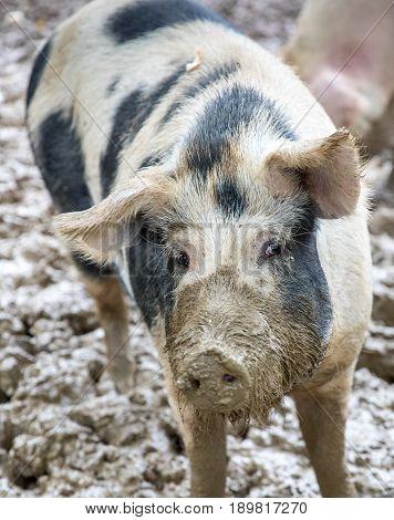 Free Range Pig In Mud