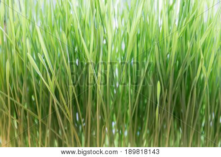Macro view of fresh and young green wheat grass natural texture concept.