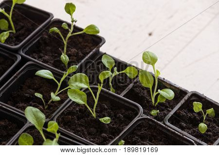 Top view on plastic containers with young baby plants growing on fertile soil. Agriculture. Small Growing Cantaloupe Sprouts on white background. Garden grow vegetables. Eco.