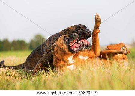 Two Scuffling Boxer Dogs In The Grass