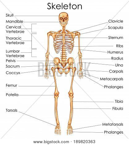 Medical Education Chart of Biology for Human Skeleton Diagram. Vector illustration