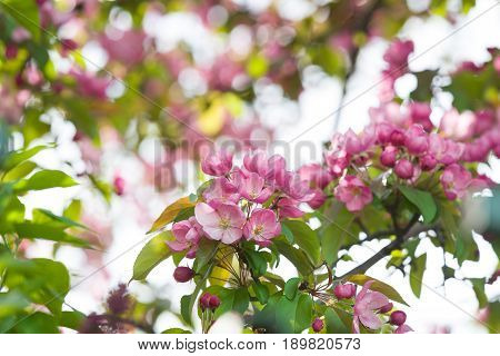 Blossoming pink apple orchard in spring. Blossom: branch of a blossoming apple tree on garden background on a sunny day