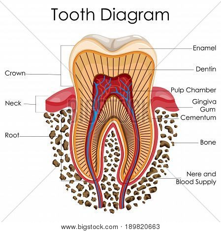 Medical Education Chart of Biology for Tooth Anatomy Diagram. Vector illustration