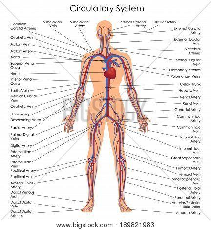 Medical Education Chart of Biology for Circulatory System Diagram. Vector illustration