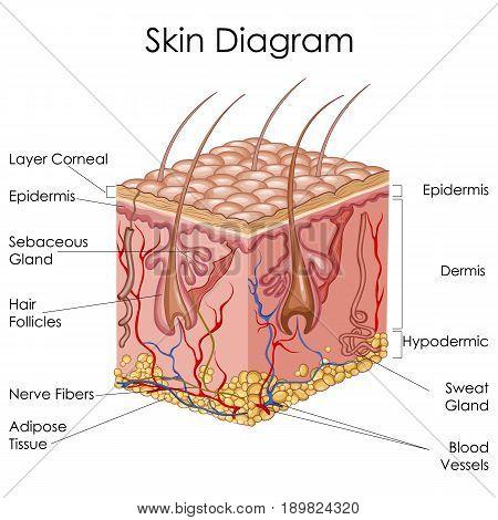 Medical Education Chart of Biology for Skin Diagram. Vector illustration