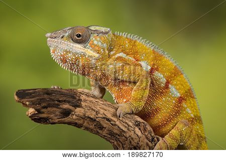 Very close up profile portrait photograph of a panther chameleon sitting on the end of a thick wooden branch