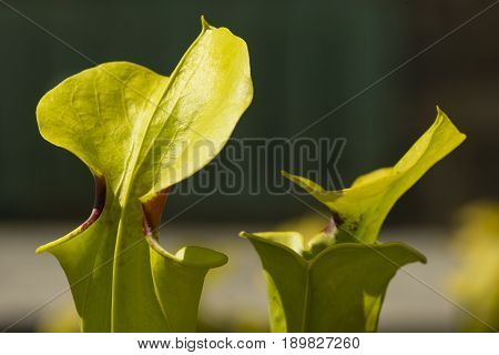 Leaves modified in animal traps of sarracenia carnivorous plant.