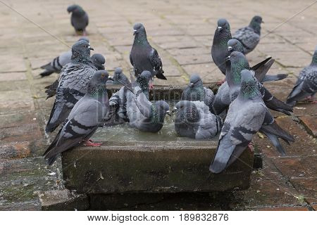 Pigeons bathe in the stone bath with water during a hot day in Pashupatinath Temple Kathmandu. Nepal . Close up