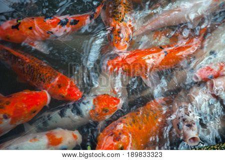 fish carp in pond