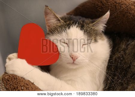 cat with closed eyes hold paper red heart with copy space close up portrait to valentines day