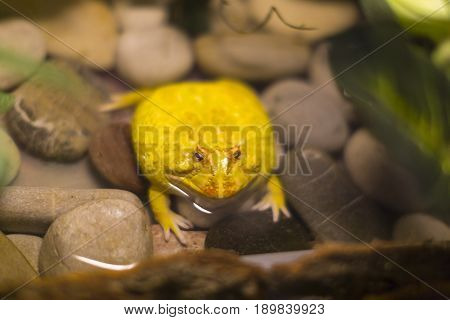 Water big tropical frog yellow in the wild