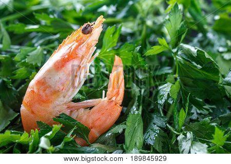 Shrimp In The Green. One Raw Shrimp Lies On The Green Parsley. Raw Shrimp. Macro.