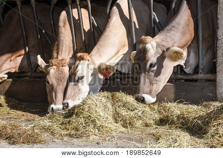 Brown Swiss Cows Feeding At A Farm