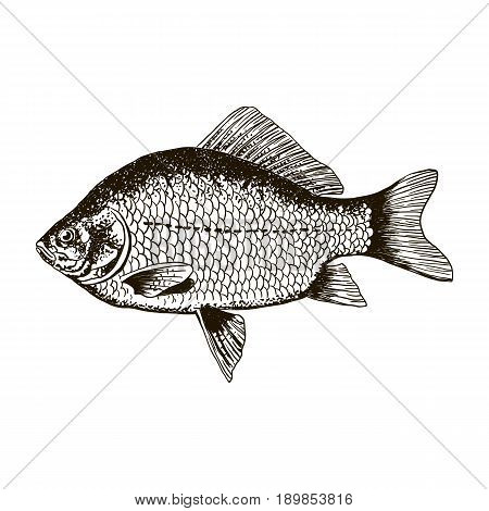 Fish crucian carp, isolated black and white, side view, hand drawn