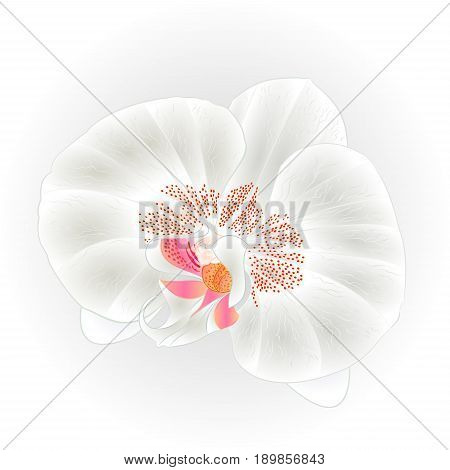 Beautiful Orchid White (Phalaenopsis Dendrobium)flower closeup isolated vintage hand draw vector botanical illustration for design