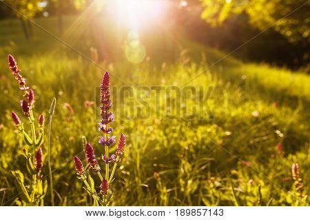 blossoming sage or salvia on summer meadow with sun rays. Sage flower in sun beams. Summer landscape. Wild flower. Photo with copy space