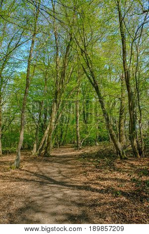 Track in the woods of the Essex countryside in springtime on a bright day.