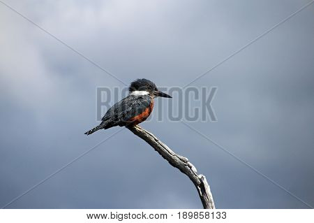 Beautiful Ringed Kingfisher, megaceryle torquata, on a tree branch, Beagle Channel near Ushuaia, Tierra Del Fuego, Patagonia, Argentina