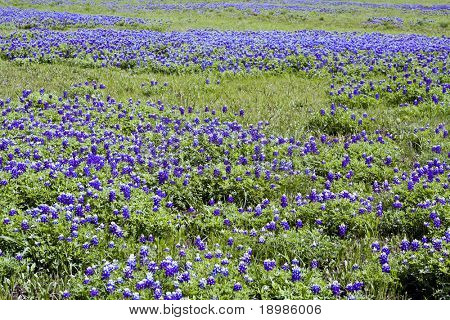 A field of bluebonnets