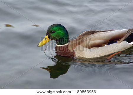 Drake mallard swimming in low water in the pond.