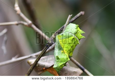 Green butterfly cocoon hanging on a branch