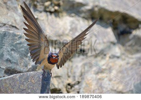 Swallow Hirundo rustica on rock, close up
