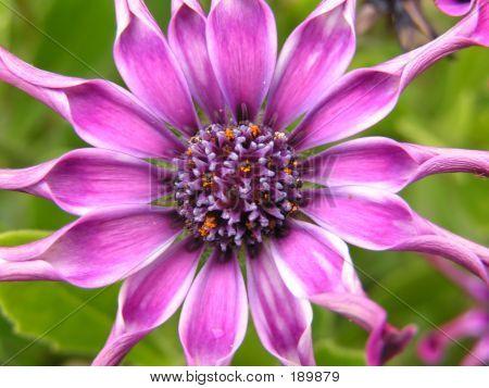Lila Blüte