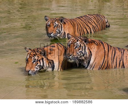 Big Indo-Chinese tigers in the lake on a hot day...  Tiger Temple, Kanchanaburi, Thailand