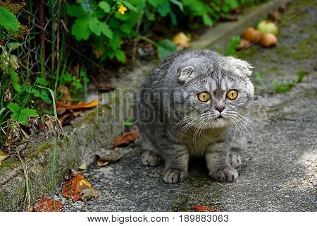 Funny gray cat sitting outside in the courtyard