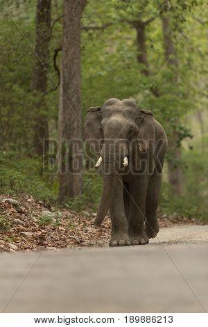 Chasing Elephant :Chasing Tusker in Jim Corbett