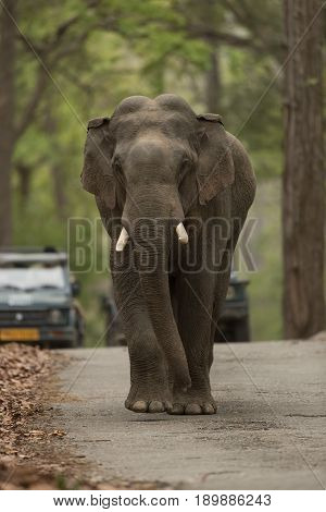 Elephant Charging followed by Cars in Jim Corbett