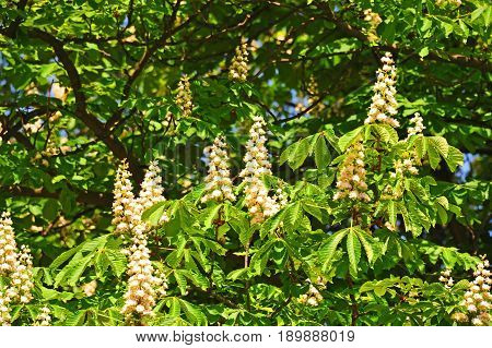 Flowering branches of chestnut (Castanea sativa) tree