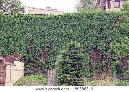 A tall old wall overgrown with green shrubs