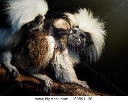 Oedipus Tamarin. Portrait of an unusual monkey